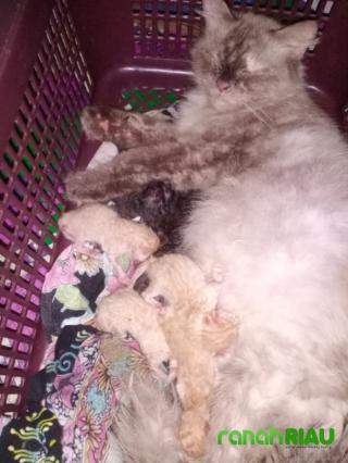 Ilham Kaget, Kucing Anggora Peliharaannya Melahirkan 9 Ekor Anak