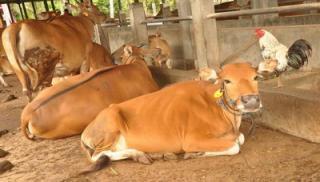 Idul Adha 1441 H, PWI Riau akan Sembelih 4 Ekor Sapi dan 4 Ekor Kambing