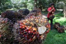 Harga TBS Sawit di Riau, Turun Dalam Pekan Ini
