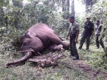Gajah Usia 40 Tahun Mati, Tubuh Membusuk di Kebun Sawit